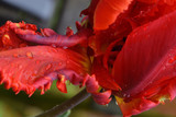 Red Parrot Tulip Abstract