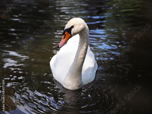 Fotobehang Zwaan Beautiful white Swan in the pond. Beautiful water reflection