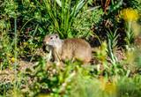 Uinta ground squirrel - 184078233