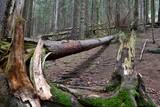 połamane drzewa w lesie sosnowym - 184081050