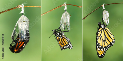 Plexiglas Vlinder Monarch Butterfly (Danaus plexippus) drying its wings after emerging from its chrysalis