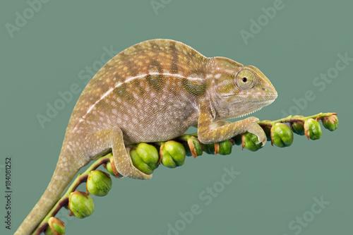 Plexiglas Kameleon Chameleon (Furcifer lateralis)/Carpet Chameleon basking on plant stem