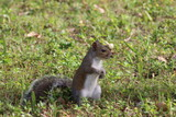 Squirrel standing in a patch of grass - 184082283