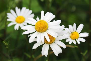 Daisyes in a summer field
