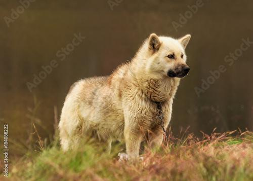 Plexiglas Wolf Handsome Greenland Sled Dog