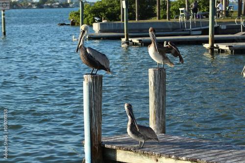 Plexiglas Zwaan Three pelicans standing on wooden boat dock