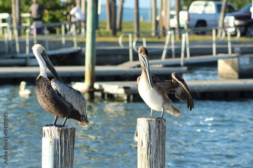 Two pelicans standing on wooden posts Poster