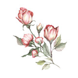The image of a rose.Hand draw watercolor illustration - 184094811