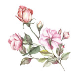 The image of a rose.Hand draw watercolor illustration - 184094823