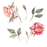 Set of flowers roses. Hand draw watercolor illustration - 184094830