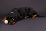 Lovely young rottweiler and little ball. Cute young rottweiler dog lying with small ball on dark background, studio shot. - 184102068