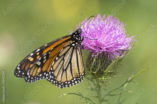 Deurstickers Vlinder Butterfly 2017-127 / Monarch on thistle