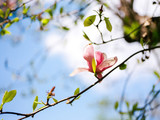 Magnolia in sunny blue sky - 184113658