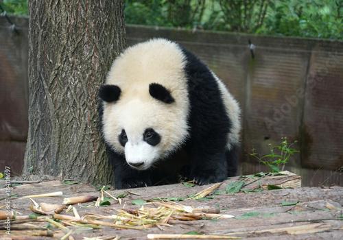 Plexiglas Panda Giant panda searching for food in the zoo