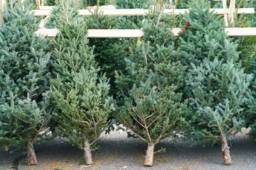 Christmas trees in the farm market for sale in holiday season