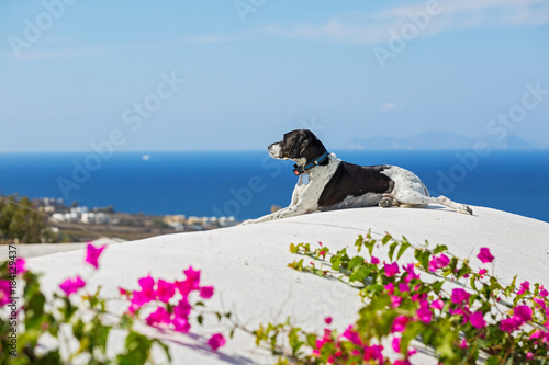 Papiers peints Santorini Dog looks at the sea