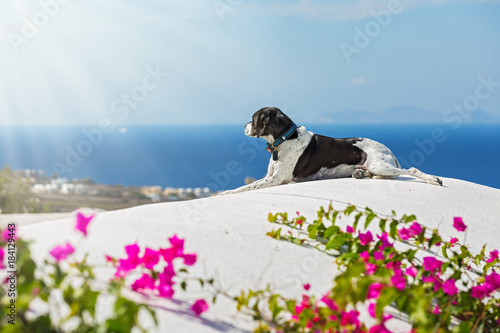Deurstickers Santorini Dog looks at the sea