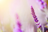Beautiful wild flower in sunset - 184141284