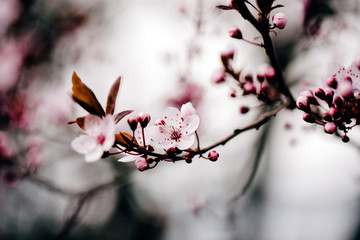 Beautiful cherry blossom in april at spring