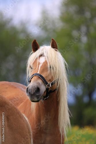 Plexiglas Paarden Haflinger Pferde