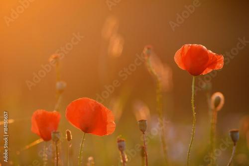 Staande foto Klaprozen Beautiful field of red poppies in the sunset light
