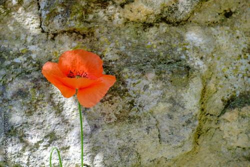 Staande foto Klaprozen Ancien mur en pierre, un coquelicots devant le mur.