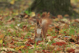 Red squirrel stands on hind legs in the middle of fallen autumn foliage - 184157817