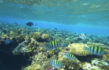 Fish sergeant and coral reef - 184165418
