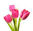 Flower Tulips as Symbol of Romance and Love