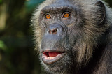 Portrait of wild looking chimp, Nigeria
