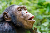 Portrait of happy chimp hooting with green background, Nigeria