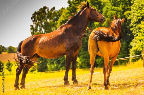 Plexiglas Paarden Two brown wild horses on meadow field