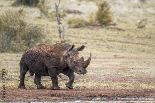 Fotobehang Neushoorn Southern white rhinoceros in Kruger National park, South Africa