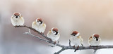 five funny little birds sparrows sitting on a branch in winter garden, hunched - 184175847