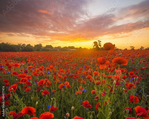 Staande foto Klaprozen poppy meadow, sunset over red poppies