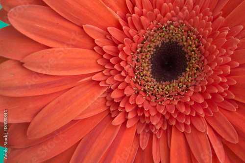 Aluminium Gerbera Orange gerbera flower close-up macro shot in daylight from the front focusing on the petals and disk florets