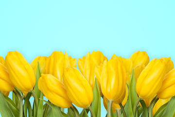 Many yellow tulips isolated on turquoise background