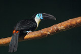 Toucan black-bellied. (Ramphastos vitellinus vitellinus). - 184193695