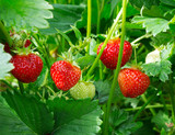 Strawberry plant. Staberry bushes.  Strawberries in growth at garden. Ripe berries and foliage strawberry. - 184194843