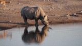 Namibia - Etoscha Nationalpark - Spitzmaulnashorn  - 184196290