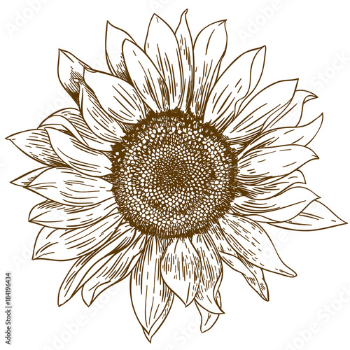 engraving drawing illustration of big sunflower
