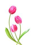 three pink tulips on white background. - 184198834