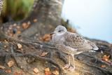 Young seagull - closeup - 184204674