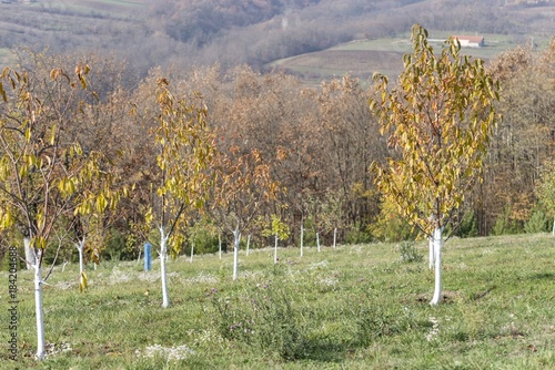 Poster Pistache orchard fruit trees