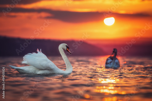 Plexiglas Zwaan Swans in the sea and beautiful sunset