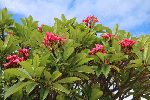 Plexiglas Plumeria Plumeria rubra blooming in Perth, Western Australia