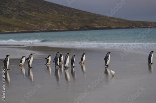 Group of King Penguins (Aptenodytes patagonicus) on the beach at The Neck on Saunders Island in the Falkland Islands Poster