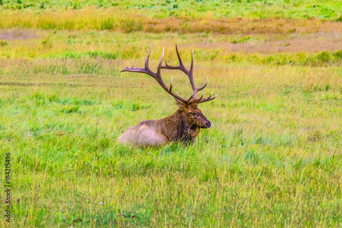 Fotobehang Hert Elk in Rocky Mountain National Park