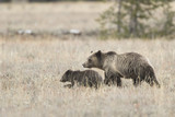 Grizzly and cub - 184220692