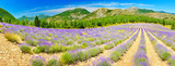 Lavender field in summer countryside - 184223645
